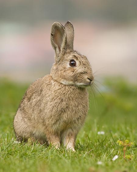WWF España pone el foco en el conejo de monte y propone una estrategia nacional