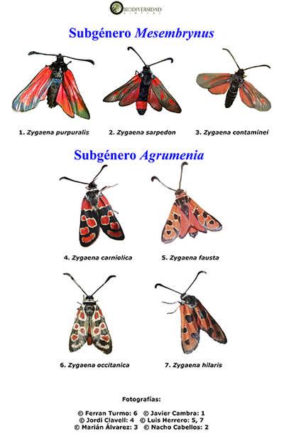 Una lámina del cuadernillo dedicado a los zigénidos (mariposas nocturnas) en el Atlas Visual de los Invertebrados Ibéricos.