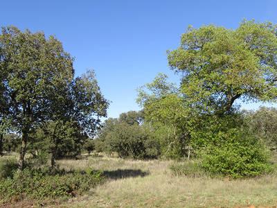 Bosque abierto de encinas y quejigos en Monte el Viejo, a mediados de la primavera (foto: Ángel Hernández).
