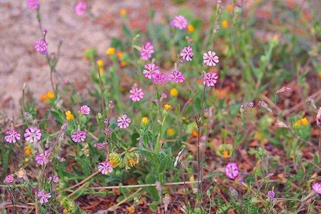 La colleja colorada es una hierba capaz de crecer en los terrenos más pobres y secos.
