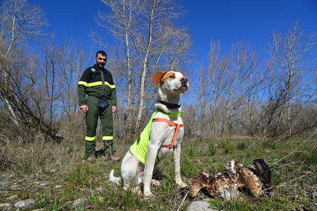 Un miembro del Cos d'Agents Rurals de la Generalitat de Cataluña, con un perro especializado en detectar veneno, junto al cadáver de un milano real (foto: Albert Gispert y Josep María Capella).