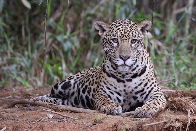 El jaguar es una de las especies emblemáticas de la recién creada área protegida Gran Mojos, en el municipio de Loreto (Bolivia). Foto: Charlesjsharp / Wikicommons.