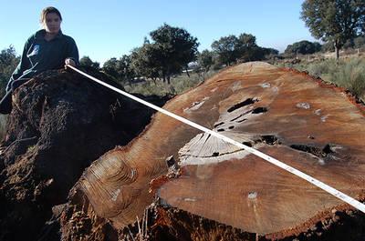 Corte donde se aprecia la magnitud de una de las encinas centenarias taladas en el Campo Charro salmantino (foto: WWF España).