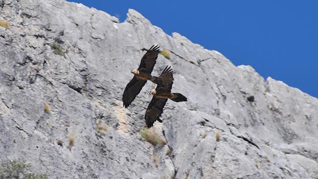 Los quebrantahuesos Hortelano y Marchena vuelan juntos en la sierra del Segura (Jaén), el primero arriba y la segunda debajo (foto: Francisco Javier Montoro).