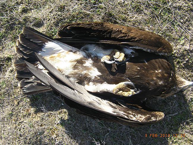 Águila real electrocutada en este tendido a principios de febrero, cuando ya había sido corregido (fotos: Grefa).