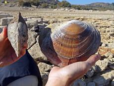 Visión dorsal y lateral de ejemplares de almeja asiática del cieno recogidas en el embalse de Mequinenza, en Caspe (Zaragoza). Foto: Gobierno de Aragón.