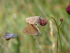 Cópula de mariposa hormiguera oscura, especie amenazada incluida en el proyecto de la Asociación de Naturalistas Palentinos (foto: F. Jubete).