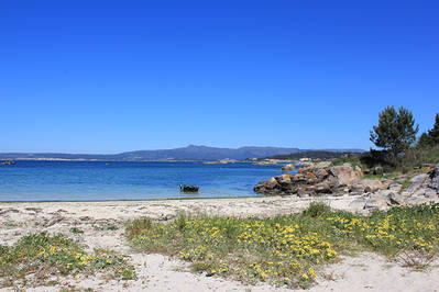 La especie invasora Arctotheca calendula, procedente de Sudáfrica, en una playa de la isla de Arousa (Pontevedra). Foto: Jonatán Rodríguez.