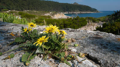 Ejemplar de margarita africana (Arctotheca calendula) naturalizado en las islas Cíes (foto: Fernando Rey).