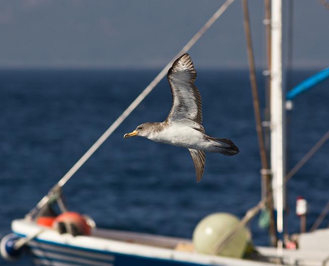 Una pardela cenicienta vuela junto a varios barcos de cebo vivo y línea de mano en el Estrecho de Gibraltar. (foto: Salvador García).