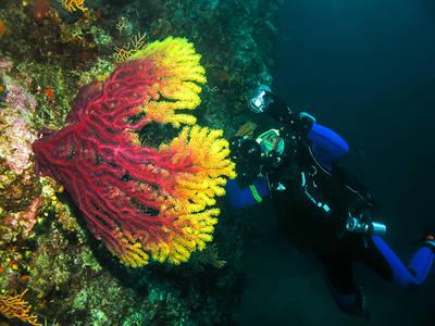 Un buceador examina una gorgonia roja (Paramuricea clavata), una de las 17 especies de antozoos que la UICN considera amenazadas en el mar Mediterráneo (foto: Jure Gasparic /Dreamstime.com).