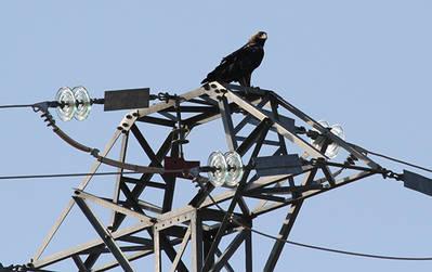 Águila imperial adulta posada en lo alto de un apoyo con cruceta tipo bóveda de amarre en celosía (foto: Juan Pablo Castaño).