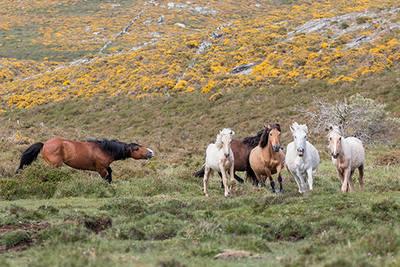 Caballos salvajes en la Serra do Cando (Pontevedra). Un garañón conduce a un grupo de yeguas y hembras subadultas hacia su manada (foto: David García Eirín).