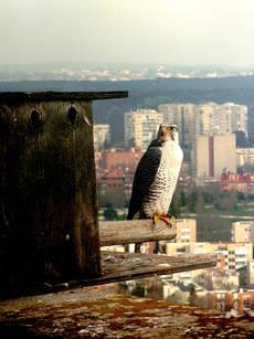 Un halcón de cetrería descansa posado junto a una caja nido ocupada por una pareja de la misma especie en el edificio del hospital Gómez Ulla (Madrid). Foto: Arantza Leal.