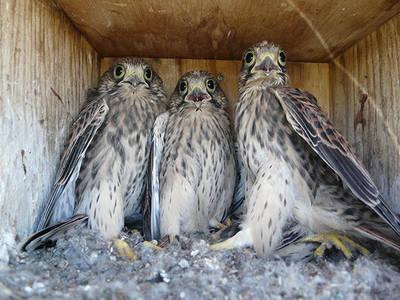 Pollos de cernícalo vulgar en una caja nido instalada en Castilla y León para el control biológico del topillo (foto: Grefa).