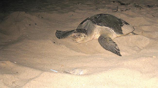 Si ves una tortuga marina en la playa, avisa al 112