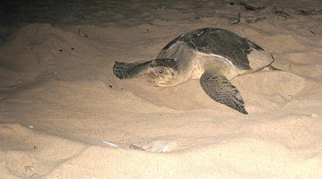 Tortuga boba adulta en una playa (foto: SanBa / Wikicommons).