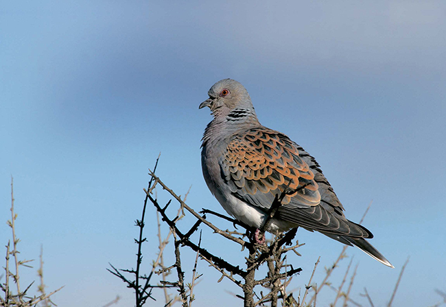 Tórtola común o europea (Streptopelia turtur). Foto: Erni / Shutterstock.