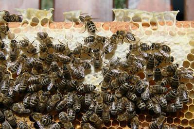 El estudio de campo publicado en Science confirma el grave impacto de los neonicotinoides en las abejas melíferas (foto: Waugsberg / Wikicommons).