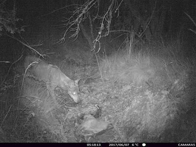 Hembra de lobo con las mamas visibles, captada recientemente con foto-trampeo en el norte de la provincia de Guadalajara (foto: Abraham Prieto).