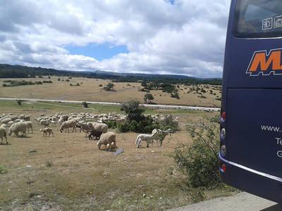 Rebaño de ovejas en extensivo en una zona del norte de Guadalajara visitada por los periodistas (foto: José Antonio Montero).