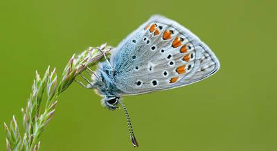 Ejemplar de ícaro (Polyommatus icarus). foto: Yeray Monasterio.