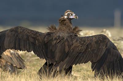 Buitre negro con las alas extendidas (foto: tatavasco).