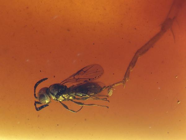 Avispa parasitoide de la familia Platygastridae conservada junto a una pata de cucaracha en ámbar del yacimiento de San Just (Teruel). Foto: E. Peñalver.