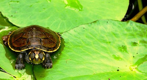 Una de las especies amazónicas incluidas en el CITES con más comercio internacional: la taricaya. Foto: Ivan Esteban Valencia Ariza, via Flickr.