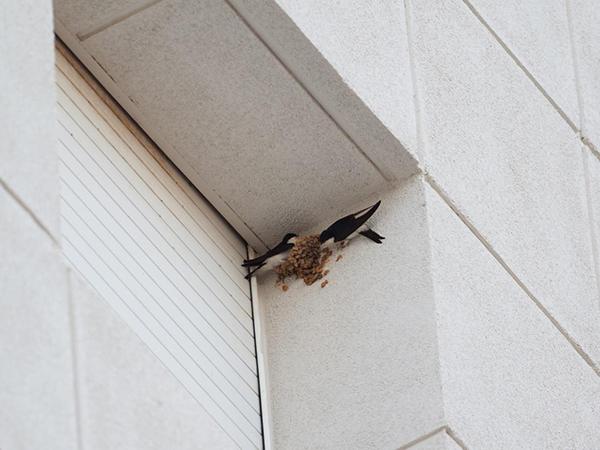 Una pareja de avión común se afana en reconstruir su nido derribado en el edificio del hospital (foto: Deborah Fandos / Apnal-Ecologistes en Acció de Vinaròs).
