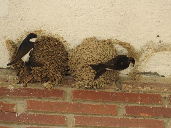 Dos aviones comunes aportan barro para construir sus respectivos nidos en un edificio de Arévalo (Ávila). Foto: Javier García.