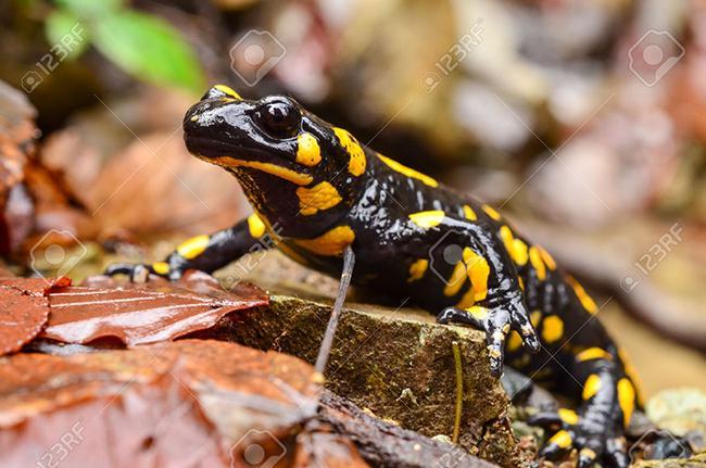 El hongo quitrídio Bsal supone una gran amenaza para la población europea de salamandra común (foto: Aleksandar Milutinovic / 123RF).