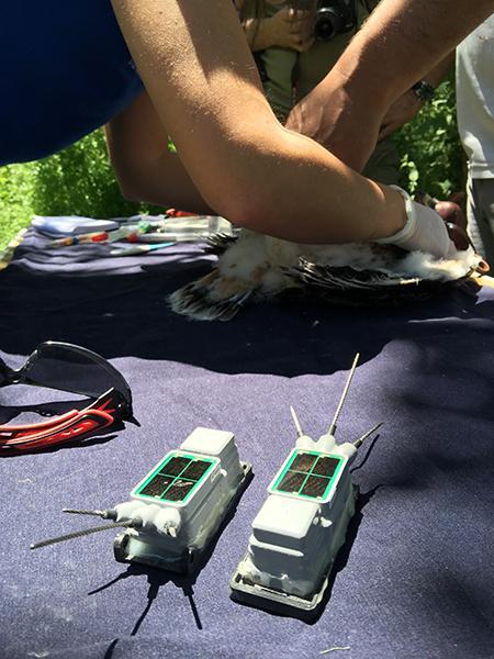 En primer plano, emisores GPS durante la colocación de estos dispositivos a un pollo de águila perdicera en la provincia de Toledo (foto: Grefa).