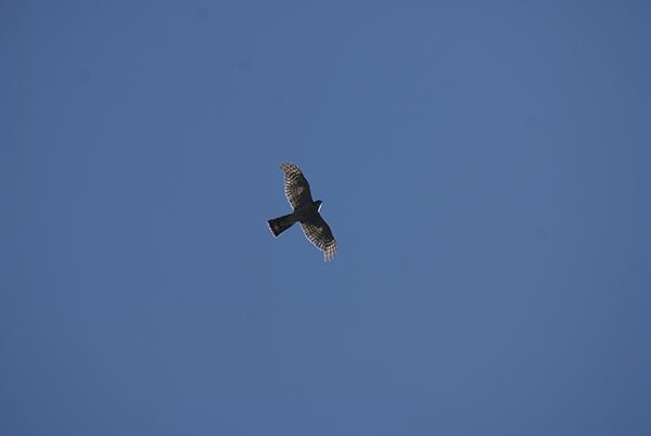 En el campo, muchas veces sólo veremos la típica silueta de alas cortas y redondeadas con cola larga de bordes rectos (foto: José Luis Robles).