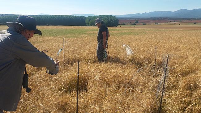 Dos voluntarios colocan un vallado perimetral alrededor de un nido de aguilucho cenizo en la campiña segoviana (foto: Candelas Iglesias).