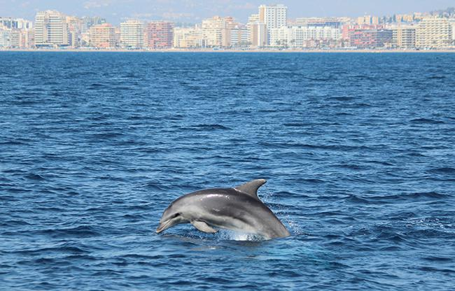 Avanza el estudio del delfín mular en Málaga: madres con crías y nuevas identificaciones