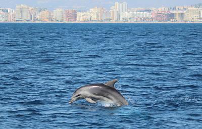 Un delfín mular nada en aguas cercanas a la costa malagueña. Al fondo se observa la localidad de Fuengirola.