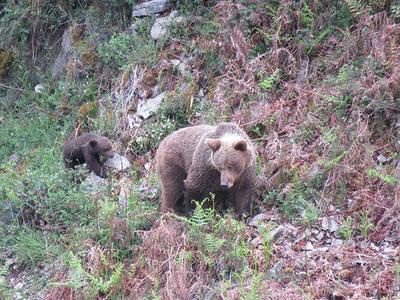 Osa con su osezno en el Parque Natural de las Fuentes del Narcea (Asturias). Foto: FOP.