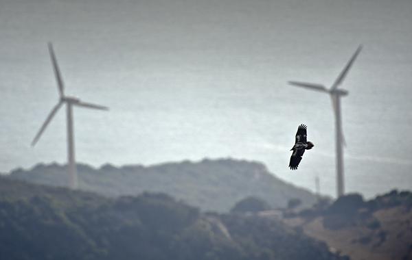 Un ejemplar juvenil de alimoche vuela cerca de dos aerogeneradores de un parque eólico del estrecho de Gibraltar cercano al mar (foto: Pako Zufiaur).