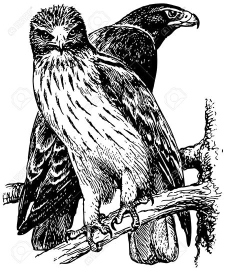 Lámina de águilas calzadas (autor: Denis Barbulat / 123RF).