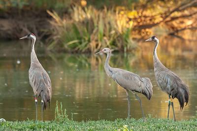 La grulla 'Doñana' (centro), con sus padres, en La Cañada de los Pájaros (foto: Francisco Jamardo Sánchez).