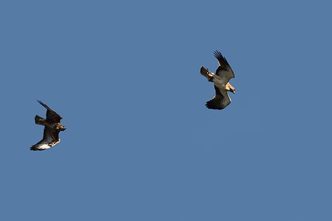 Un busardo ratonero se dispone a robar la presa a un águila calzada (foto: Beneharo Rodríguez).