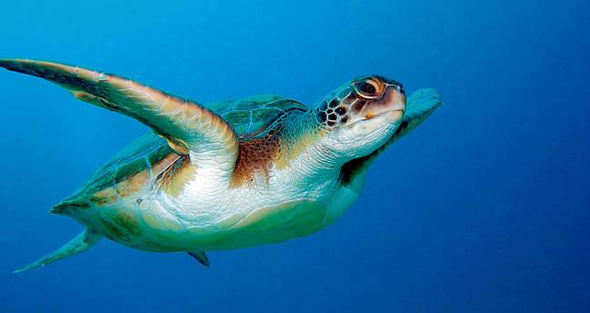 Tortuga boba localizada en aguas españolas (foto: Natursports / Shutterstock).
