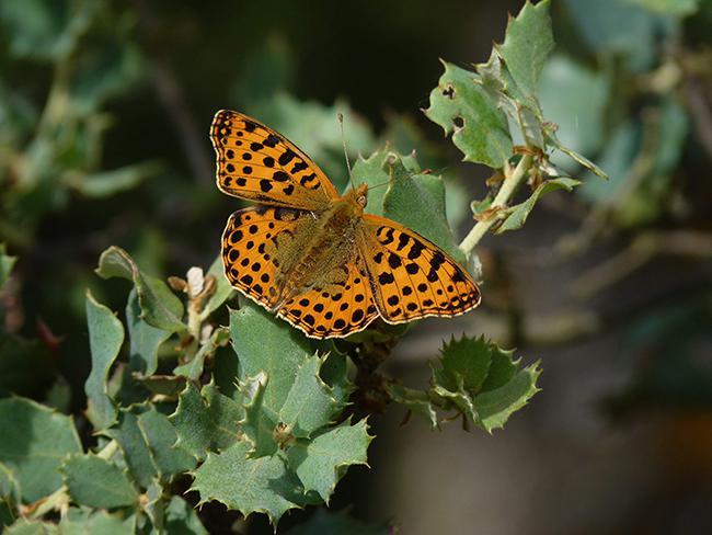 Issoria lathonia es una de las mariposas diurnas inventariadas en la provincia de P alencia (foto: Fernando Jubete).