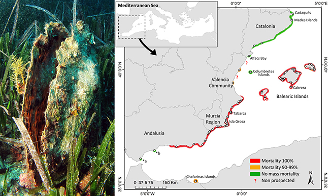 Ejemplar de nacra, a la izquierda, y mapa con la mortalidad en el litoral mediterráneo, a la derecha (foto y figura: COB-IEO).