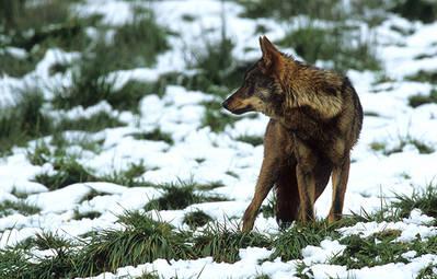 Un lobo en régimen de semicautividad se detiene a observar en una ladera con nieve (foto: Eduardo Ruiz Baltanás).