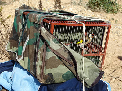Jilguero cautivo para que sirva de reclamo en la captura de fringílidos (foto: Pedro García/Anse).
