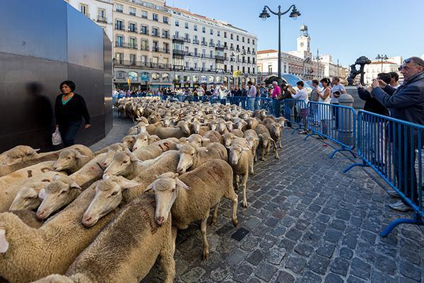 Las ovejas merinas pasan por la Puerta del Sol de Madrid en una de las ediciones de la ya clásica Fiesta de la Trashumancia (foto: Barcex / Wikicommons).