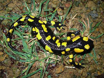 Adulto de salamandra común en el Parque Natural Sierra de las Nieves (Málaga). Foto: Juan José Jiménez.