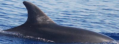 Delfín mular registrado en el catálogo de foto-identificación de Anse (foto: José Luis Murcia).